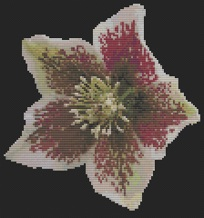 Macintosh HD:Users:Fiona:Documents:florashell:Christmas Rose:Christmas Rose.chart