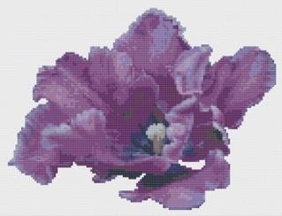 Macintosh HD:Users:Fiona:Documents:florashell:purple frilled tulip:Purple Frilled Tulip.chart